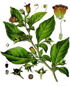 belladona2